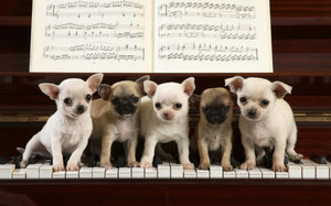 Animalchihuahuacutedogmusicfavim_co